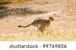 Full Flight Cheetah - stock photo