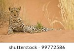 Leopard on dune - stock photo