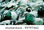 pigeon - stock photo