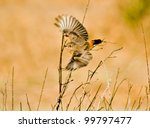 indian robin - stock photo