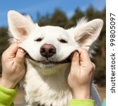 Stock photo swiss shepherd dog smiles with man s help 99805097