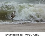 Small photo of Spotted sandpiper Actitis macularia, looking for feed on a sandy beach