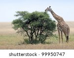 Giraffe Feeding From Tree.