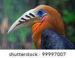 Small photo of Rufous-necked Hornbill - Aceros nipalensis, Burma