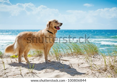 golden retriever on a sandy