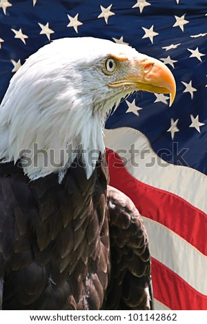 american bald eagle with the