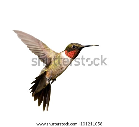 ruby throated hummingbird male