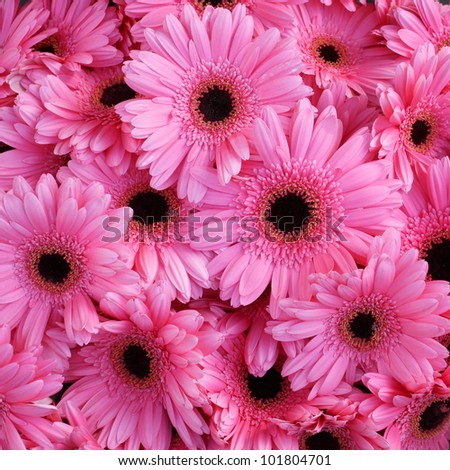 beautiful pink flower gerbera