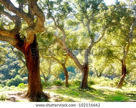cork tree in spain  algeciras