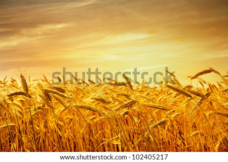 ripe wheat at sunset landscape