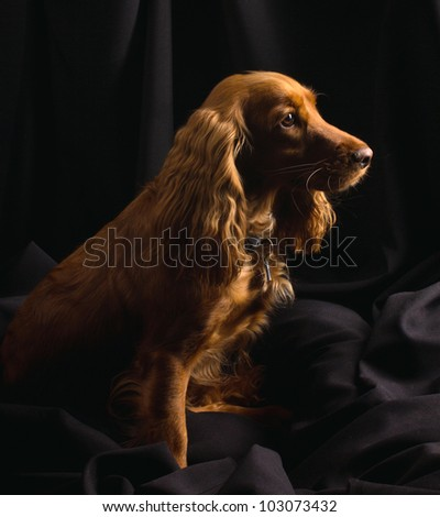 red cocker spaniel is sitting