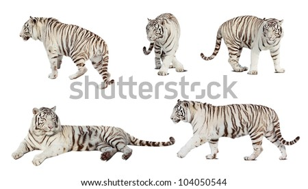 set of white tiger isolated