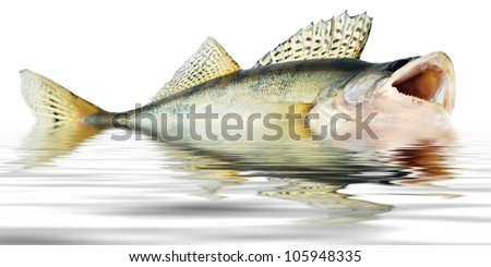 fish walleye zander reflections