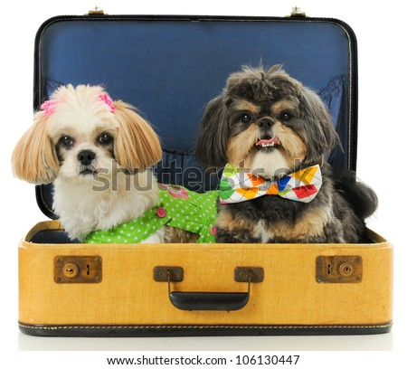 shih tzu male and female dogs