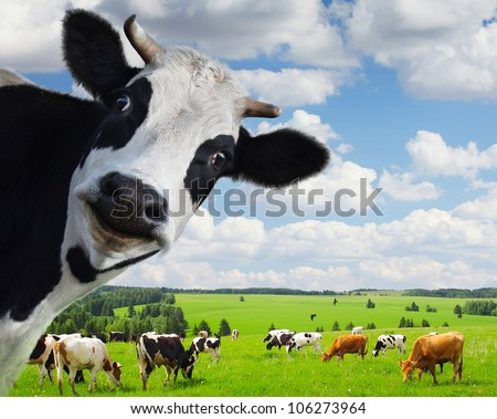 funny cow looking to a camera