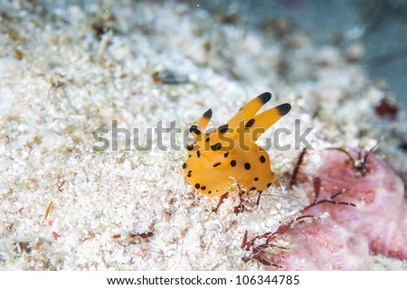 yellow nudibranch