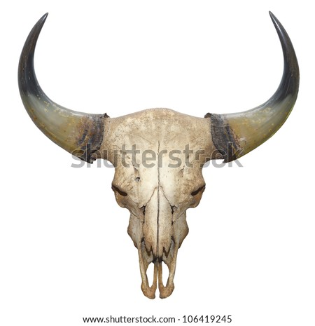 head skull of bull isolated on