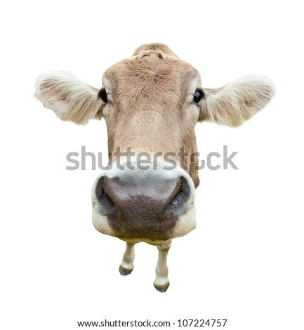 funny cow head portrait