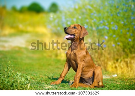 beautiful rhodesian ridgeback