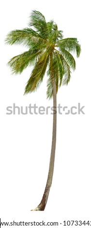 coconut palm tree isolated on