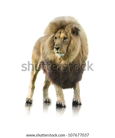 portrait of a lion standing on
