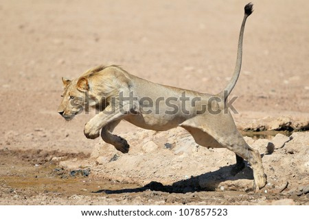 a young lion jumping over a
