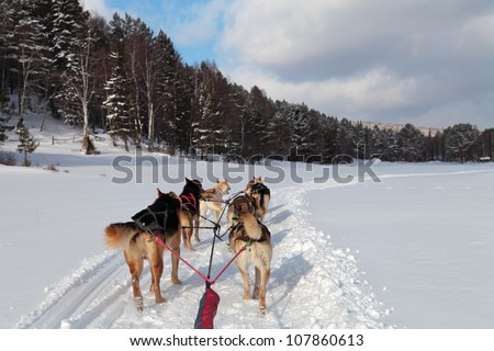 a team of siberian sled dogs