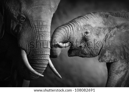 elephants showing affection