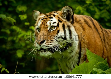 face of tiger with high