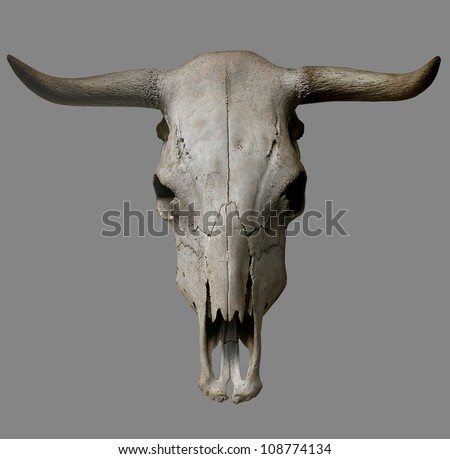 cow skull on gray background