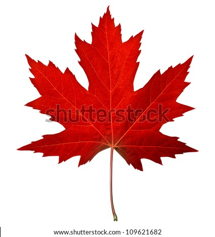 red maple leaf as an autumn