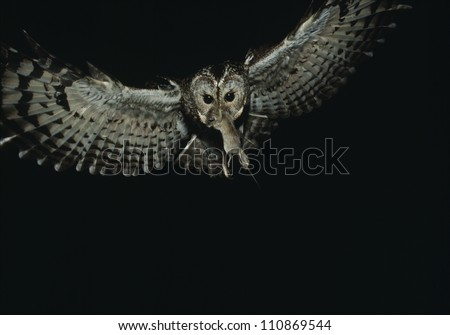 owl in flight with a prey in