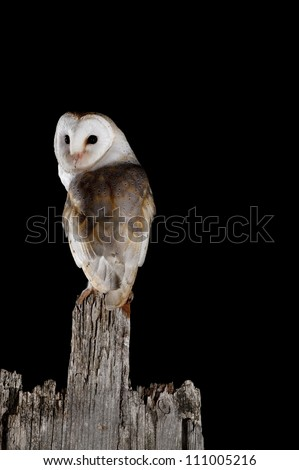common barn owl  tyto alba  on