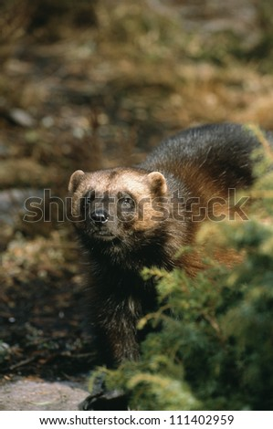 wolverine in a forest  sweden