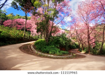 cherry blossom path in a curve