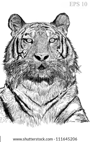 tiger sketch line with vector