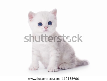 small silver british kitten on