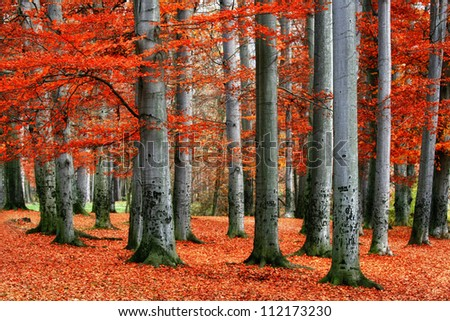 autumn park of red beech trees