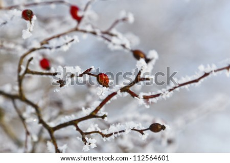 red rosehip berries with hoar