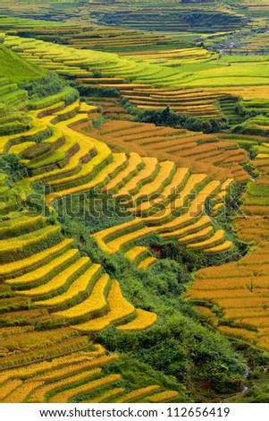 terraced rice fields   gold