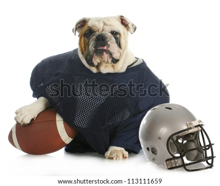 sports hound   english bulldog