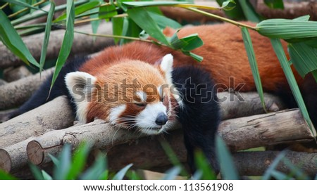 red panda  firefox  sleeping on