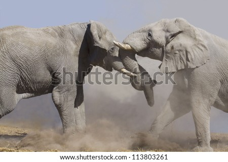 two fighting male elephants in