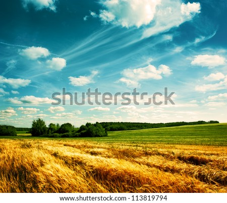 summer landscape with wheat