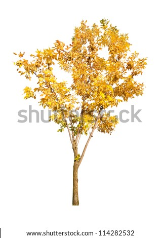 golden autumn tree isolated on