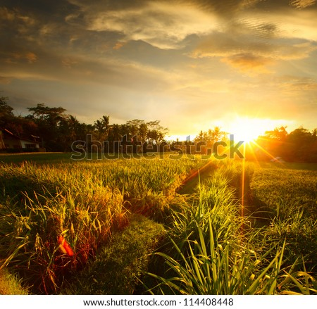 sunset over rice field ubud