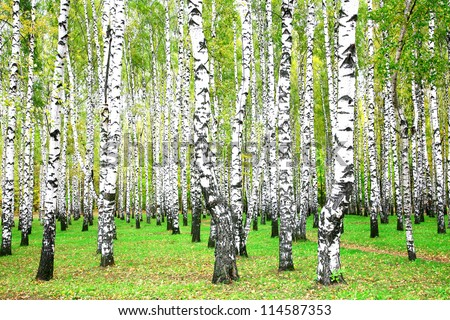 september autumn birch grove