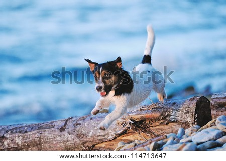 cute white terrier running