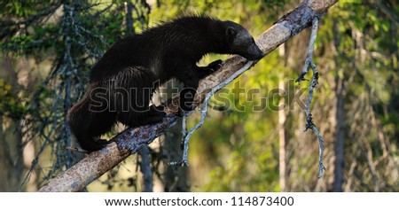 wolverine on tree