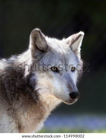 a close up shot of a gray wolf